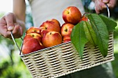 Person holding basket of fresh nectarines and leaves