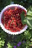 Redcurrants in a plastic basket (outdoors)