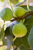 Unripe figs on the tree