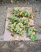 Grüne Weintrauben trocknen auf Papier