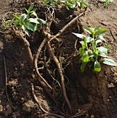 Liquorice root in soil