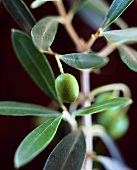 Green olive on the branch