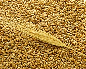 Grains and ear of wheat