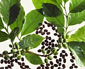 Branch of a coffee plant and roasted coffee beans