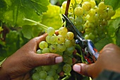 Cutting white wine grapes off the vine