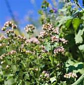 Flowering oregano in the open air