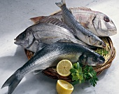 Common seabream (top), grey mullet, black seabream & seabass
