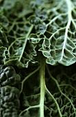 Black kale (variety: Cavolo nero, Tuscany)