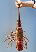 Spiny lobster (Ireland)