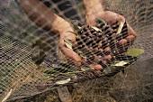 Olivenernte: Oliven aus dem Netz sammeln (Ligurien, Italien)