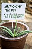 Aloe vera in flowerpot