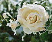 Cream-coloured silk rose with hoar frost