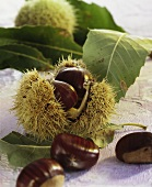 Sweet chestnuts in their shells and leaves