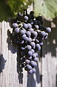 Black grapes against wooden planks