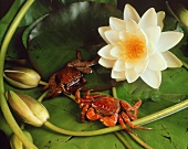 Crabs in pond with water lilies (Indonesia)