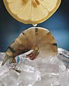 Tiger Prawn auf Eis und eine Scheibe Zitrone