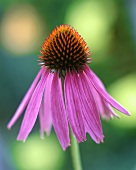 Echinacea in open air