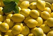 Primofiori lemons (Citrus limon)