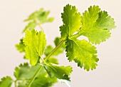 Fresh coriander leaves