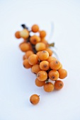 Sea buckthorn twig with berries