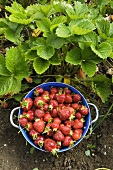 Strawberries in a colander in the field