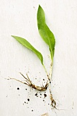 Ramsons (wild garlic) plant with root