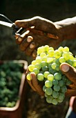 Picking Chardonnay grapes, Thelema Winery, Stellenbosch, S. Africa