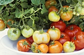Organic tomatoes on a plate and on the plant
