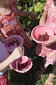 Three girls picking raspberries