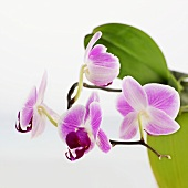 Pink orchid with white background