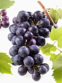 Black grapes on branch