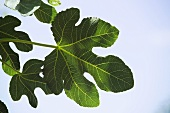 Several fig leaves