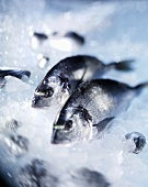 Two gilthead bream on ice