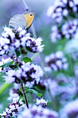 Flowering summer savory with butterfly