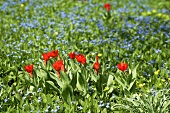 Red tulips in a flowery meadow
