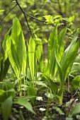 Fresh ramsons (wild garlic) in forest