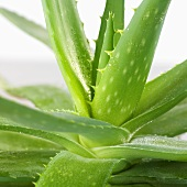 Aloe vera plant (close-up)