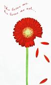 Greetings card with red Gerbera