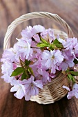 Cherry blossom in small basket