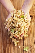 Two hands holding white currants