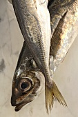 Two Atlantic horse mackerel (Trachurus trachurus)