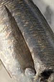 Fin of Atlantic horse mackerel (Trachurus trachurus)