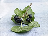 Blackcurrants with leaves and twig