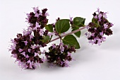 Sprig of oregano with flowers