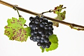 Red wine grapes on the branch
