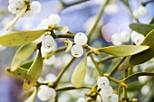 Sprig of mistletoe with leaves & berries (medicinal plant)