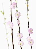 Four branches of almond blossom