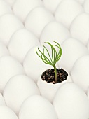 Pine sprout in an eggshell