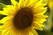 Eine Sonnenblume mit Biene
