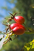 Rose hips on the bush in the open air